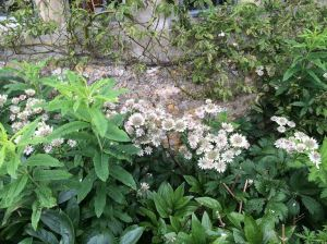 Astrantia Asthall Manor