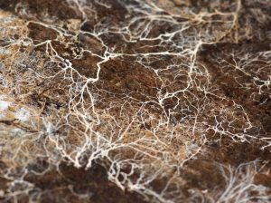Micorrhizal